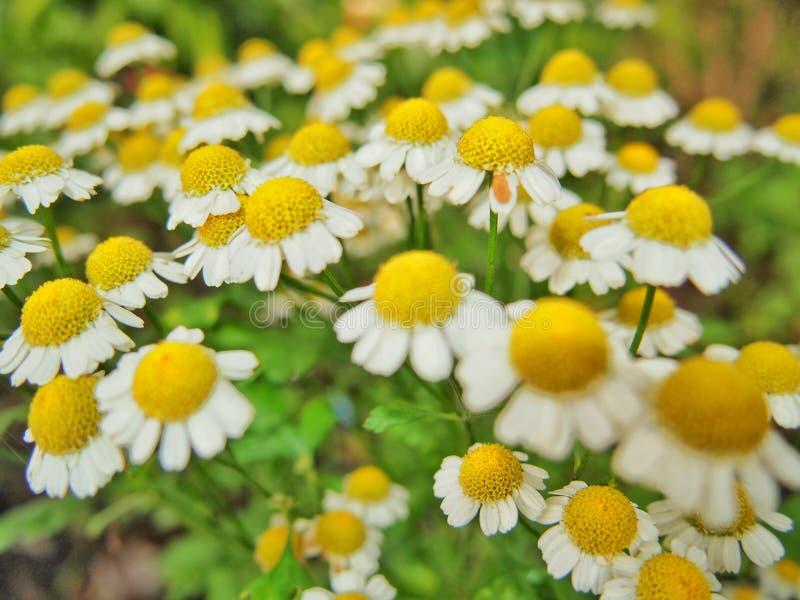 Ox eye daisy stock images