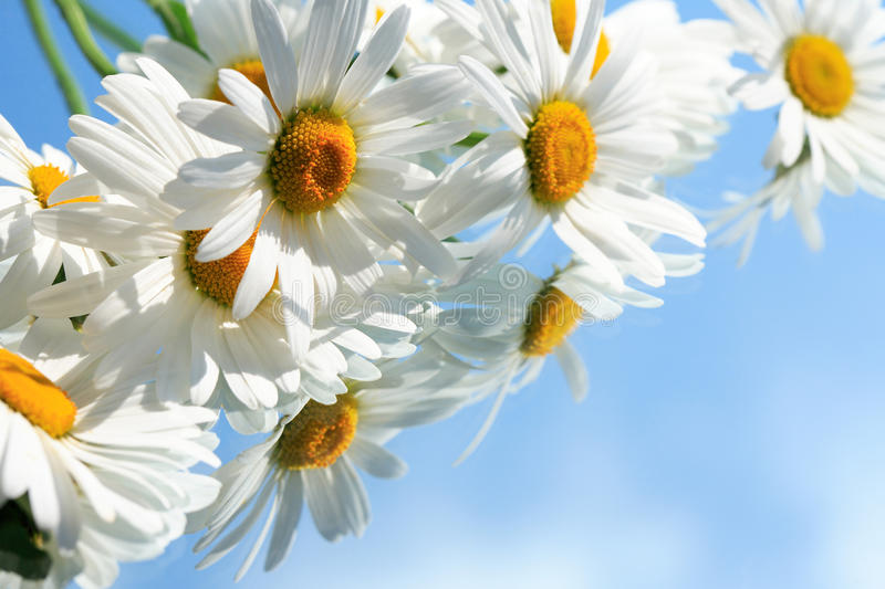 Download Ox-Eye Daisy Flowers stock photo. Image of flower, macro - 19897612