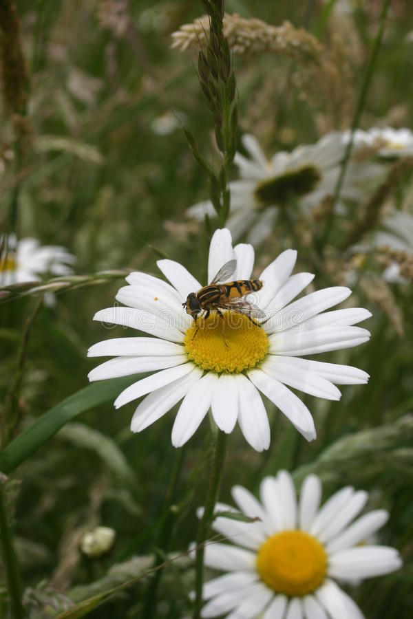 Hoverfly on daisy. Ox-eye daisy (Leucanthemum vulgare) with the hoverfly (Helophilus pendulus). Background of other flowers and vegetation royalty free stock image