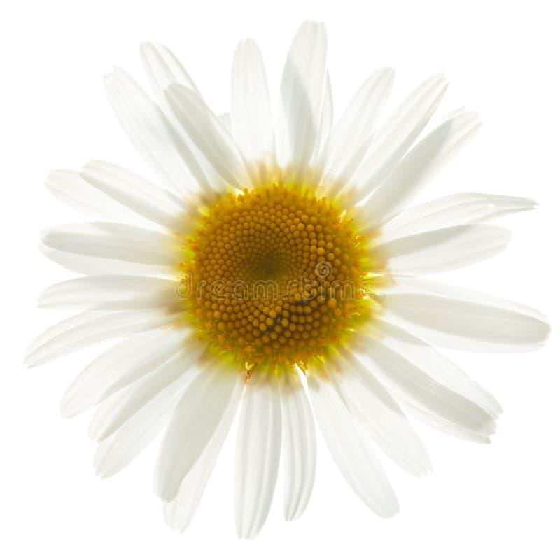 Ox eye daisy. Single ox eye daisy isolated on white royalty free stock images