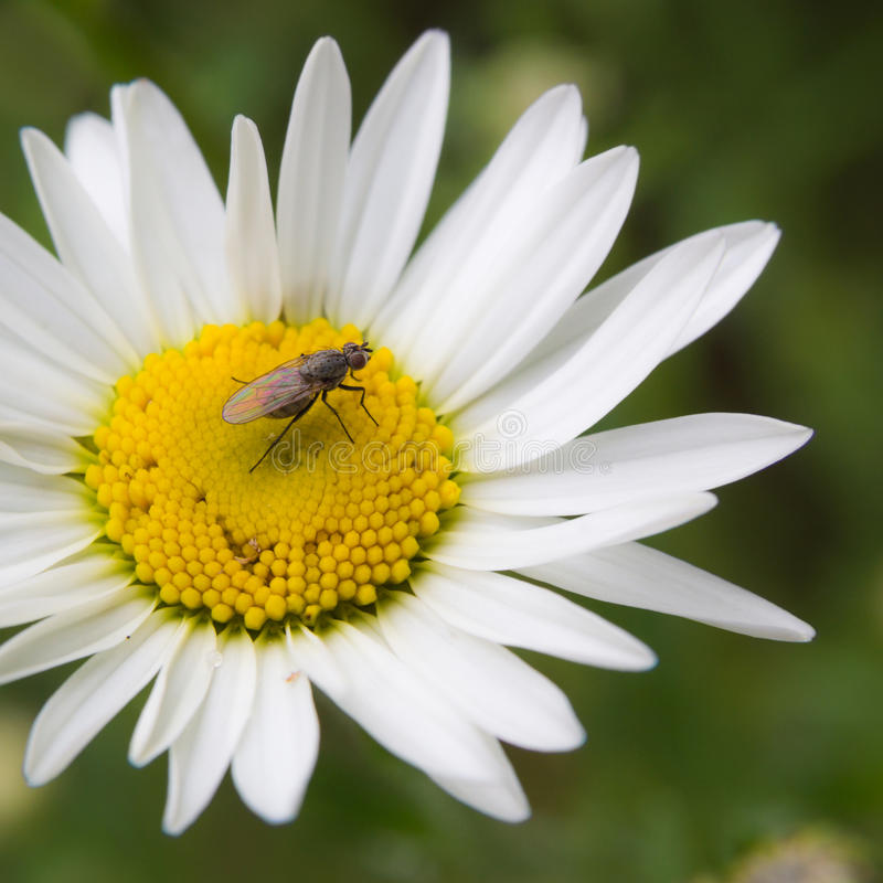 Download Ox Eye And Fly stock photo. Image of wing, petal, daisy - 28030260