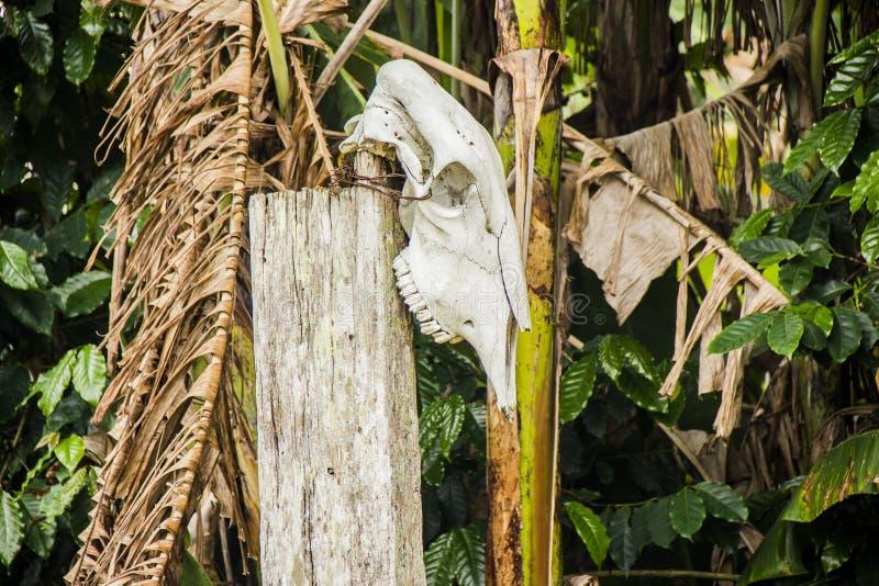 Ox head hung. Minas gerais brazil stock photo