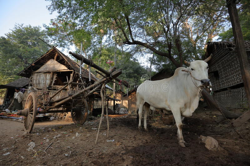 Ox strained. An ox strained at a farm stock images