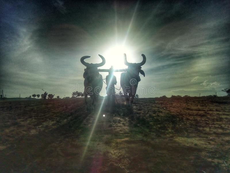 A ox two ox in farm work stock image