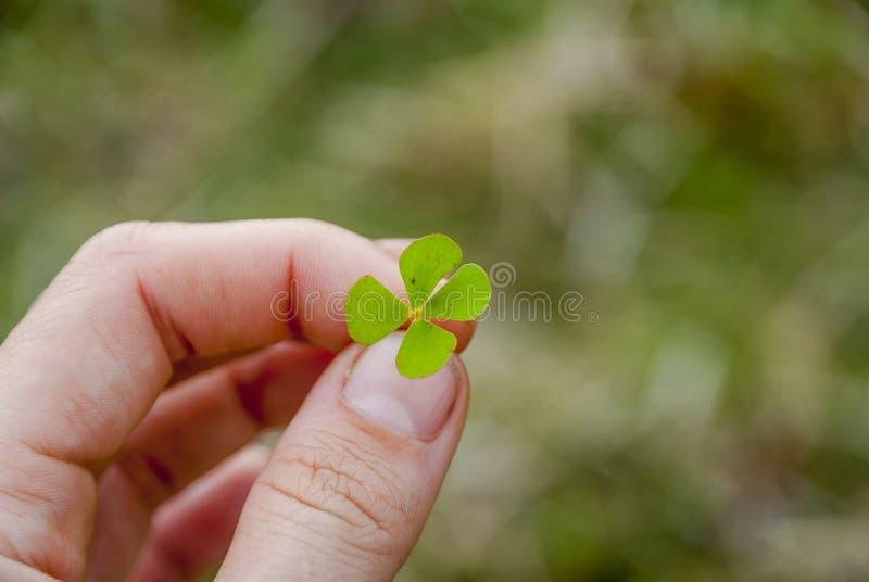 Oxalide petite oseille de quatre feuilles à disposition photos stock