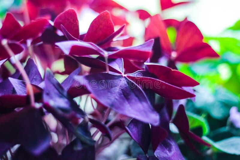 Oxalide petite oseille, oseille, triangularis d'Oxalis, plante d'intérieur de couleur violette image stock