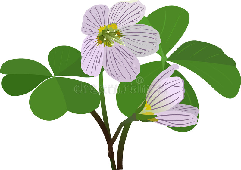 Oxalis acetosella vector illustration