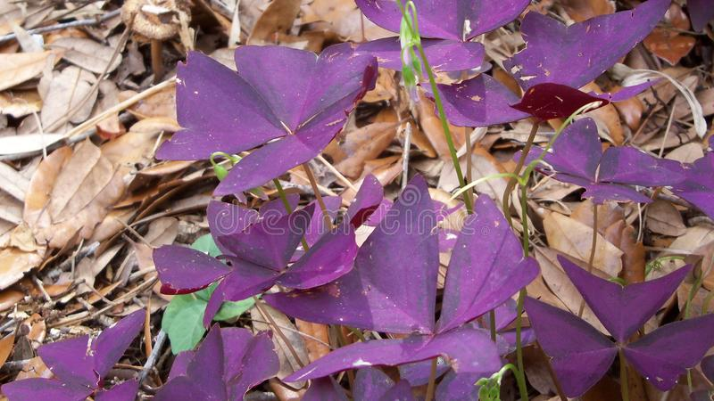 Closeup of some lovely purple Oxalis. Oxalis all done up in purple is a rare find out in the forest stock photography