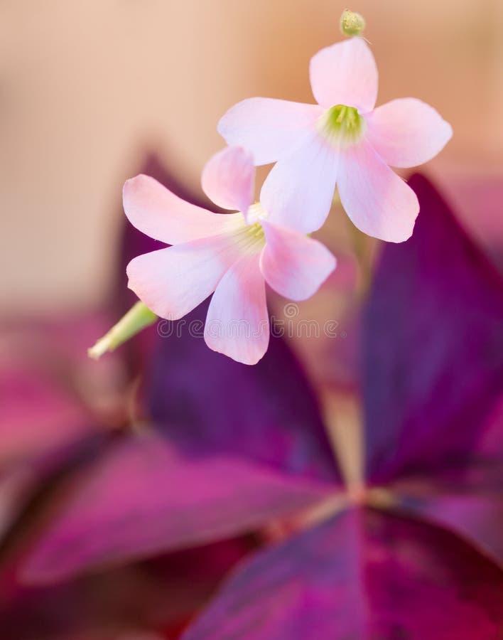 Download Oxalis flowers stock image. Image of beautiful, ornamental - 26133469