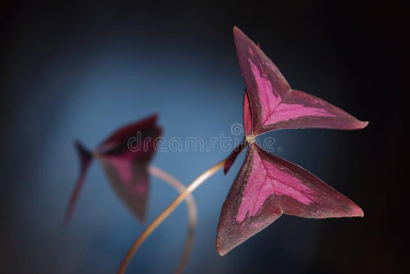 Oxalis, Kislitsa ο τριγωνικός, houseplant. στοκ εικόνα με δικαίωμα ελεύθερης χρήσης