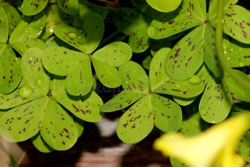 Oxalis pes-caprae, Bermuda Sorrel, perennial herb with bulbs. Borne on vertical white rootlike rhizome, no aerial stem, leaves trifoliate often spotted purple stock image