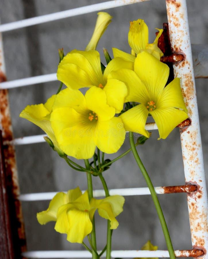 Oxalis pes-caprae, Bermuda Sorrel, perennial herb with bulbs. Borne on vertical white rootlike rhizome, no aerial stem, leaves trifoliate often spotted purple stock photo