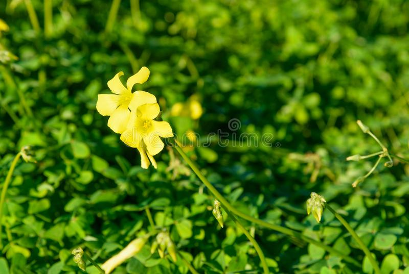 Oxalis pes-caprae flower. On green in Marocco royalty free stock photo