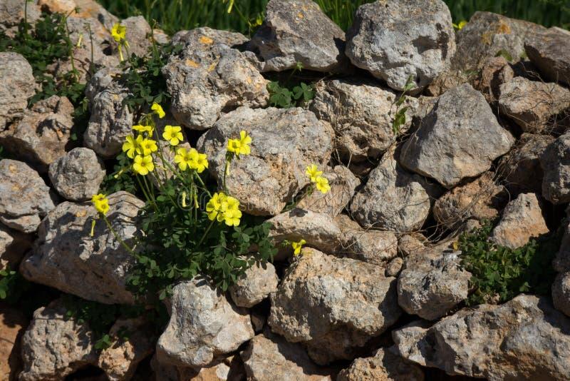 Oxalis pes caprae. Oxalis pes-caprae on a wall in Malta royalty free stock image