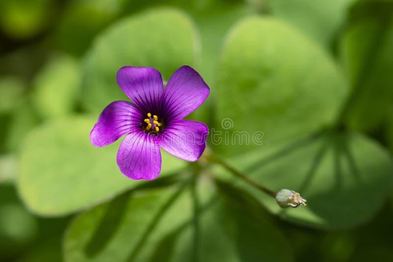 Oxalis roxos pequenos do rastejamento fotografia de stock royalty free
