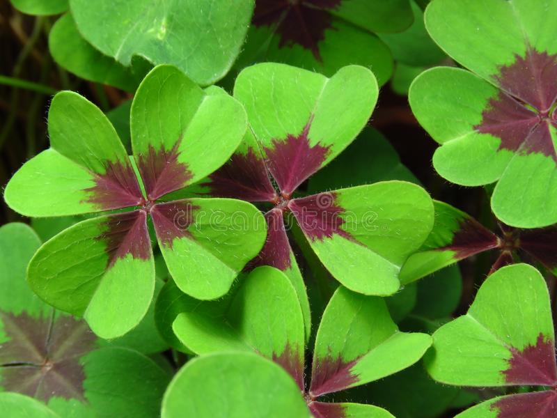 Oxalis tetraphylla, `Lucky clover` and `lucky leaf`, green clover top view floral background or wallpaper. Iron Cross. Oxalis tetraphylla, `Lucky clover` and ` royalty free stock image