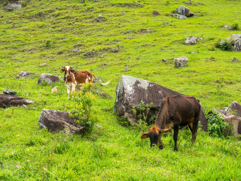 Oxar på gräsplan betar - tjurboskap - att lyfta för nötkreatur arkivbild