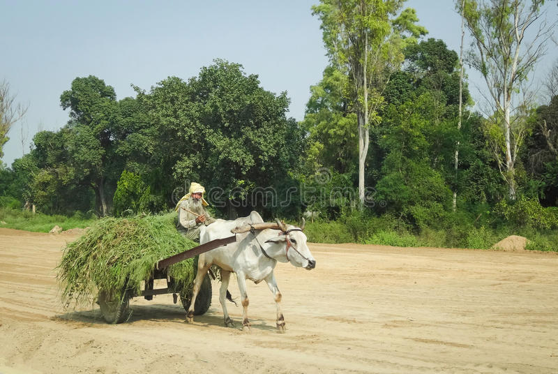 Oxcart in India. An oxcart in Punjab, India carrying a load of hay. Taken in September of 2013 royalty free stock image