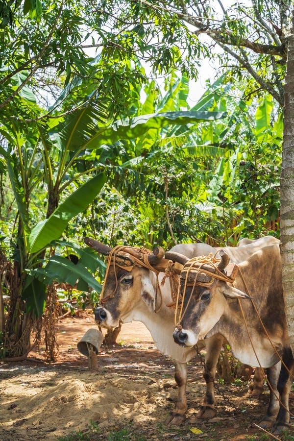 Oxcart/tjurar i den Vinales nationalparken, UNESCO, Pinar del Rio Province arkivfoton