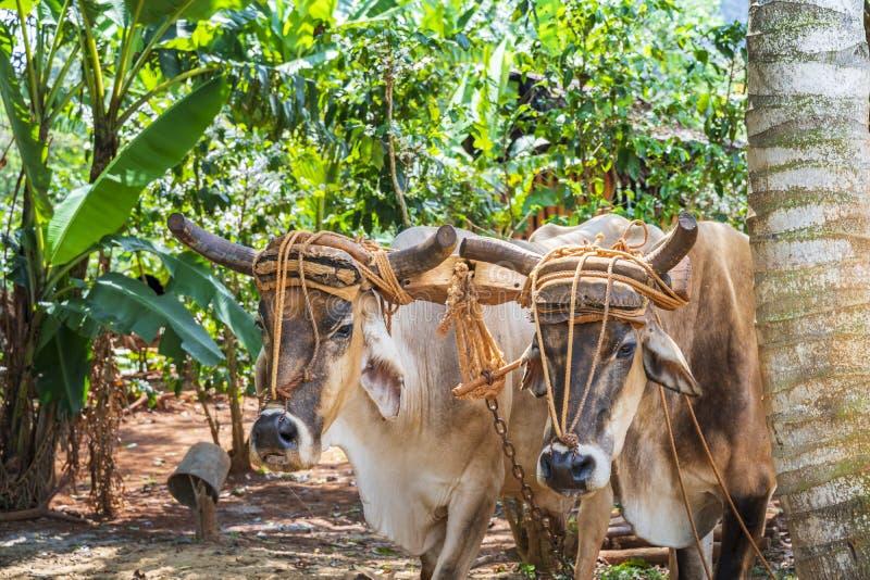 Oxcart/tjurar i den Vinales nationalparken, UNESCO, Pinar del Rio arkivfoton