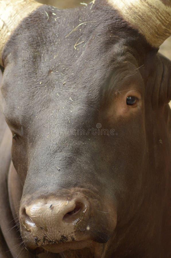 Oxe i zoo fotografering för bildbyråer