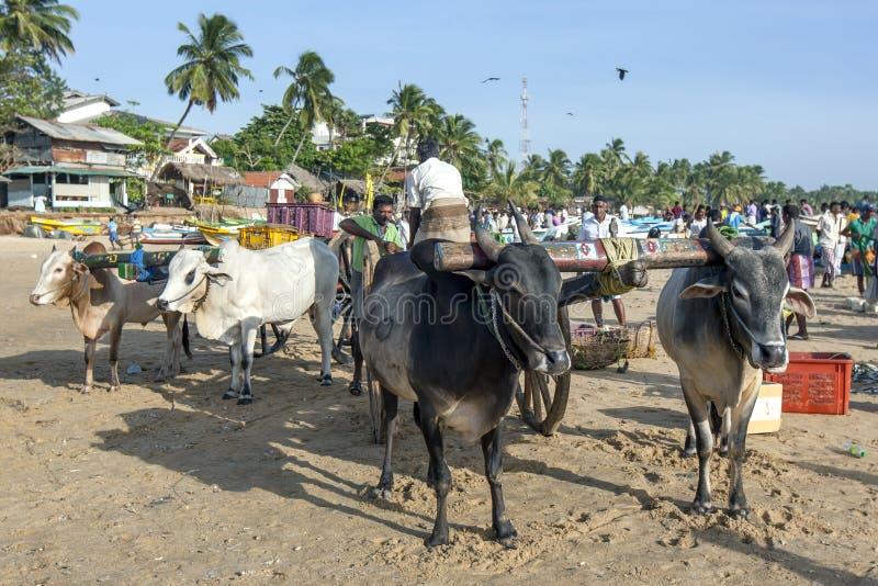 Oxelag på den Arugam fjärden sätter på land i Sri Lanka arkivfoton