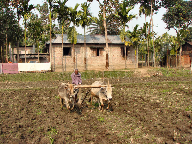 Oxen Plowing in India. While driving from India to Nepal I noticed this man plowing the old-fashioned way royalty free stock photography