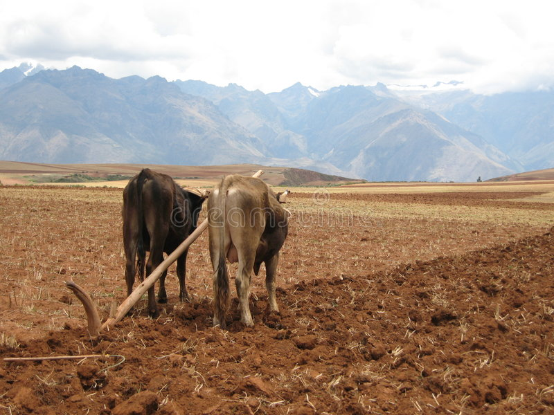 Oxen pulling plow in field stock photos
