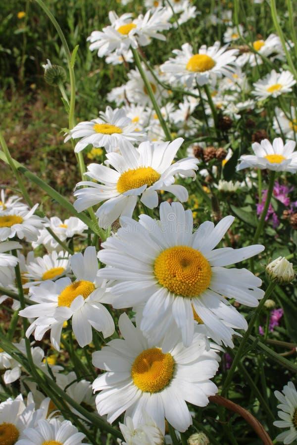 Цветок, завод, маргаритка Oxeye, цветковое растение