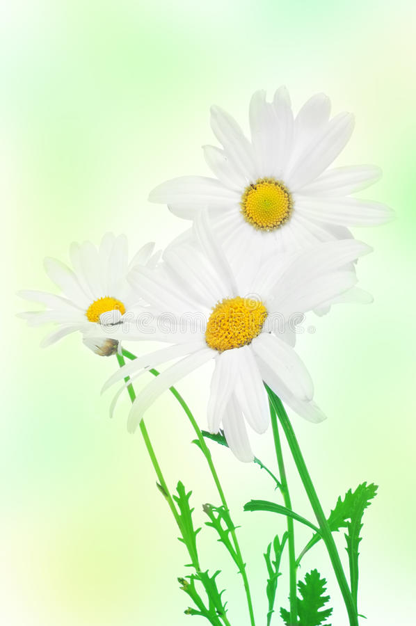 Download Oxeye daisies stock image. Image of decorating, floristry - 25247285