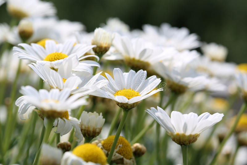Download Oxeye Daisy Royalty Free Stock Photos - Image: 32297858