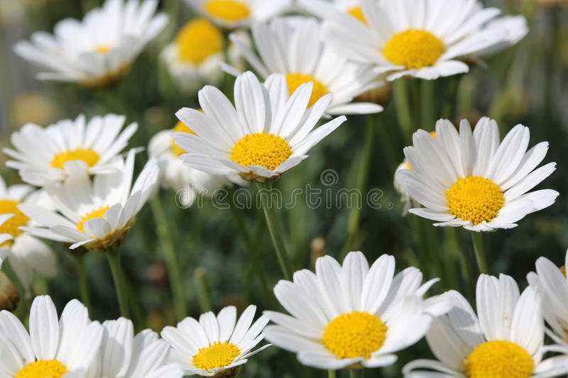 Download Oxeye Daisy stock image. Image of fields, gold, bunch - 32298105