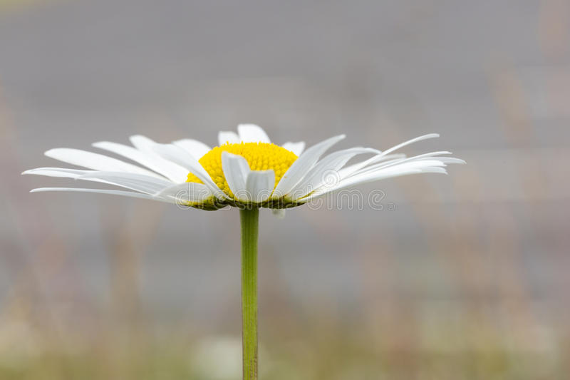 Oxeye Daisy Flower Close Up. A Oxeye Daisy Flower Close Up royalty free stock images