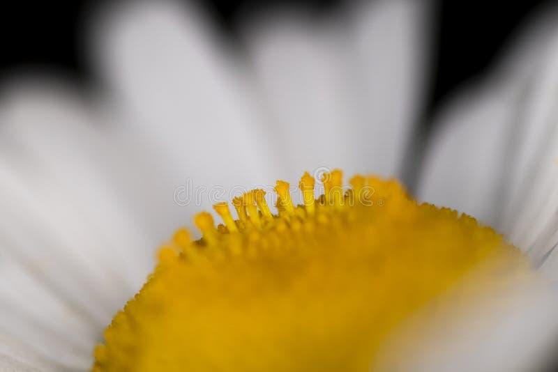 Oxeye Daisy Flower head. Genus of plants in the Leucanthemum vulgare, grassland perennial wildflower, macro with shallow depth of field royalty free stock photos