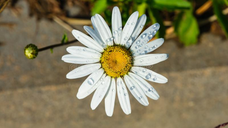 Oxeye daisy, Leucanthemum vulgare, flower with raindrops macro with bokeh background, selective focus, shallow DOF royalty free stock photos