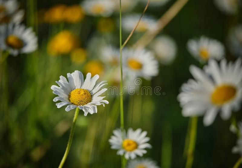 An oxeye daisy among many others. In the sun royalty free stock photo