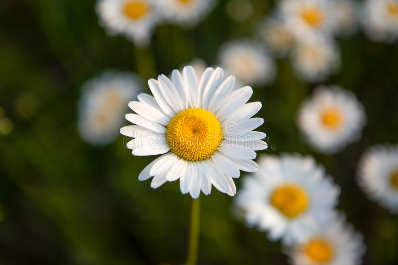 Oxeye Daisy in Ontario Canada in the Summer royalty free stock image