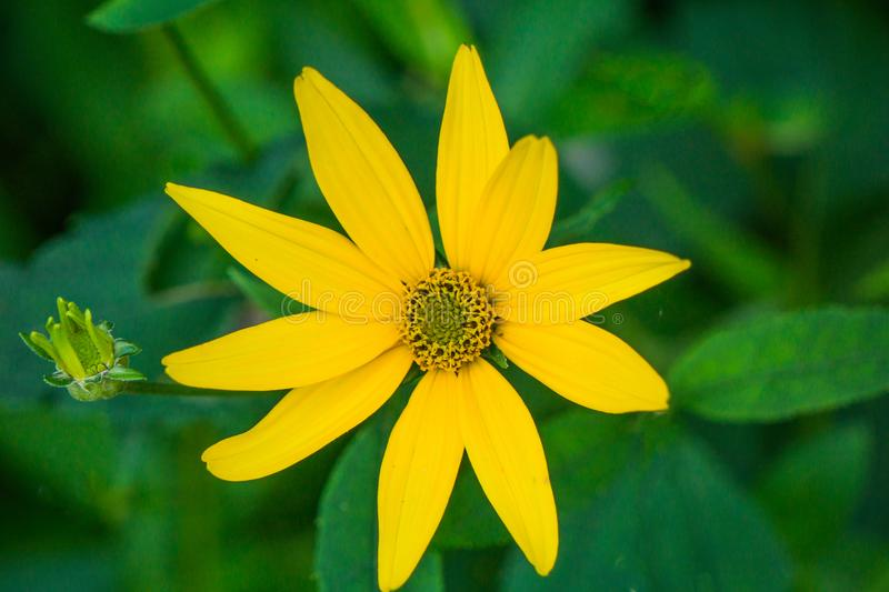 Oxeye Sunflower or False Sunflower. Closeup of an Oxeye Sunflower or False Sunflower Helispsis helianthoides resembles a Yellow Sunflower with a cone shaped stock image