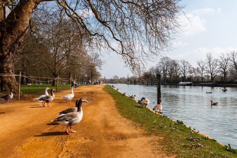 Oxford gäss royaltyfria bilder