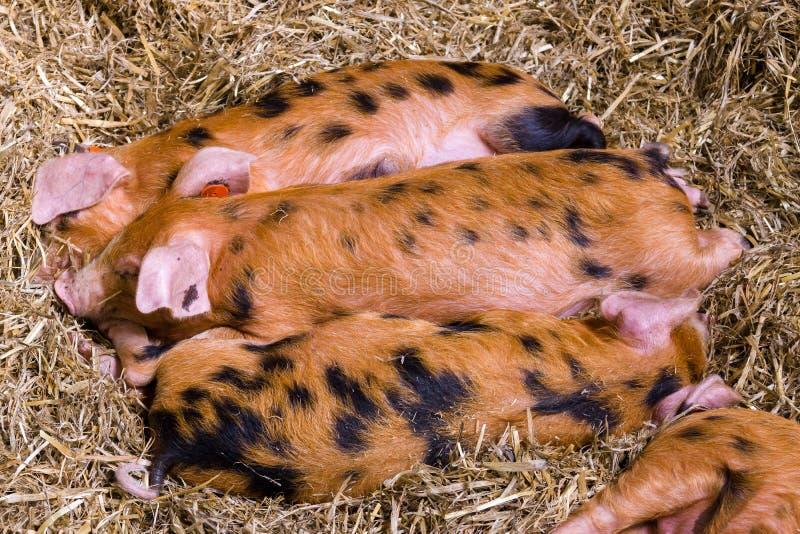 Oxford sandiga och svarta svin royaltyfri fotografi