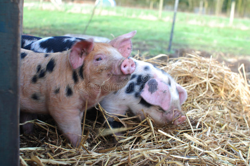 Oxford and Sandy Black Piglets royalty free stock photo