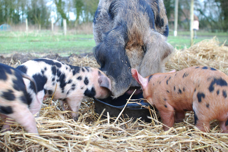 Oxford and Sandy Black Pigs and Piglets feeding royalty free stock images