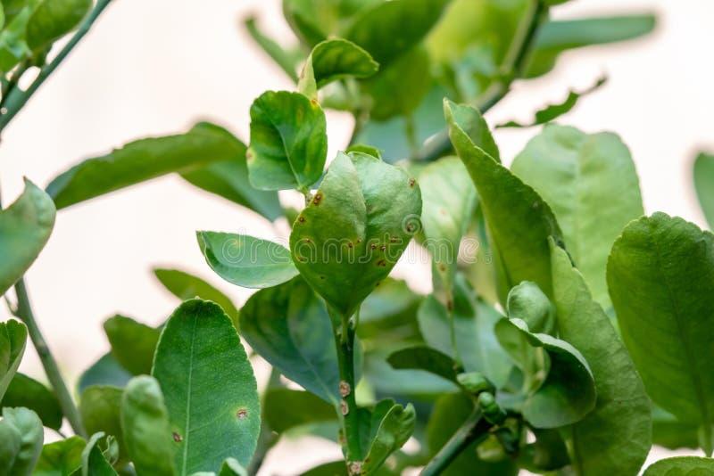 Oxidação nas folhas do cal, úlcera do citrino fotografia de stock royalty free