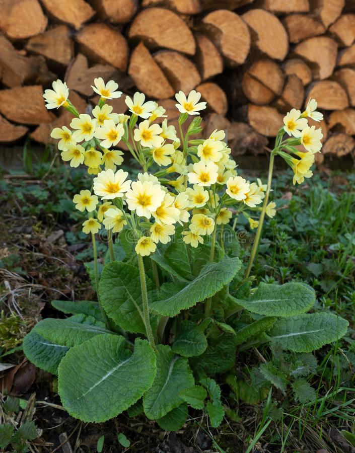 Oxlips in front of a woodpile stock image