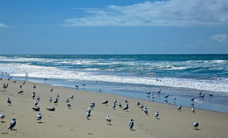 Oxnard Beach California. Seagulls spread across the sand near the Pacific Ocean in Oxnard California royalty free stock image