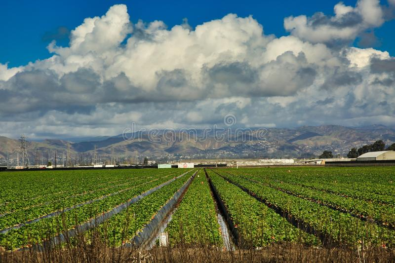 Oxnard farmland California. Mounded Rows of growing plants on farms in Oxnard California with white puffy clouds stock photo