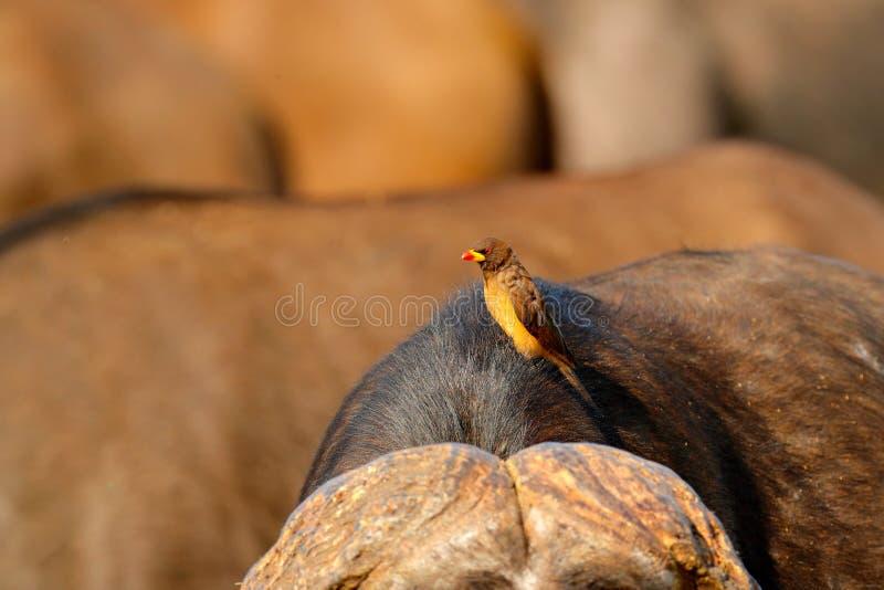 oxpecker Amarelo-faturado, africanus de Buphagus, na pele marrom do búfalo grande Comportamento do pássaro no savana, parque naci fotografia de stock