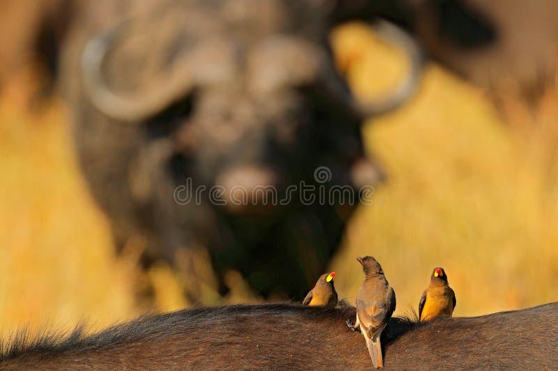 Oxpecker dal becco giallo, africanus di Buphagus, in pelliccia marrone di grande bufalo Comportamento dell'uccello in savana, par immagine stock
