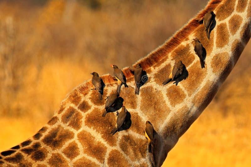 Oxpecker dal becco giallo, africanus di Buphagus, uccelli sul collo del girafe, parco nazionale di Hwange, Zimbabwe fotografia stock