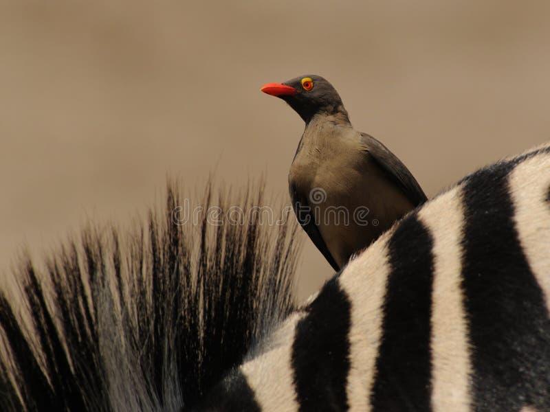 Oxpecker op een Zebra royalty-vrije stock afbeeldingen